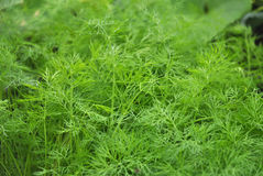 Dill Anethum graveolens. Dill, or Anethum graveolens, in the garden Royalty Free Stock Images