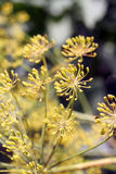 Dill (Anethum graveolens) umbel Stock Photography