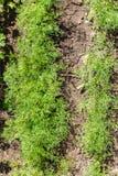 Dill (Anethum graveolens) Stock Image