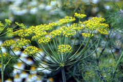 Dill, annual herb Stock Images