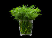 Dill aromatic herb Royalty Free Stock Photography