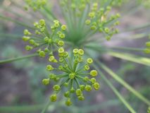 Dill as a spice plant royalty free stock photo