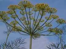 Dill. On the background of blue sky Stock Photography