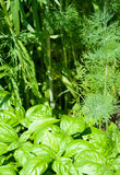 Dill and basil. Green basil on the background of dill's stems and leaves stock photo