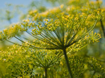 Dill in Bloom Royalty Free Stock Photos