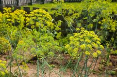 Dill. The blooms of dill on the farm Royalty Free Stock Photo