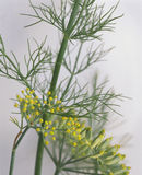 Dill Blossoms Stock Images