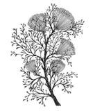 Dill. Botanical illustration. Flowering plant Stock Image