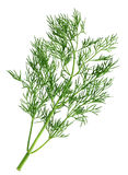 Dill branch Royalty Free Stock Photo