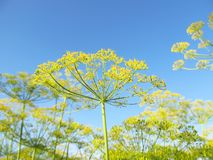 Dill branch in sunlight Stock Image