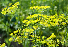 Dill branches with flowers Stock Photos