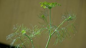 Dill stock footage