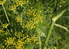 Dill closeup Royalty Free Stock Photos