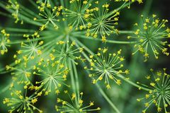 Dill closeup with green background. Dill closeup with blurred green background Royalty Free Stock Photography