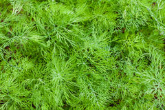 Dill. Closeup image of fresh dill leaves stock photos