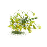 Dill (Dillweed). One in a series of twelve natural herbs, showing Dill in its fresh from the plant form, and its dried/crushed form, as you'd see it in the spice Royalty Free Stock Photo