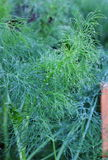 Dill in drops of dew Royalty Free Stock Photography