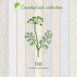 Dill, essential oil label, aromatic plant Stock Photos