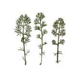 dill Fänkål Herbarium Sammansättning av gräset på en vit bakgrund Fotografering för Bildbyråer
