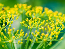 Dill (Fennel) flower Royalty Free Stock Image
