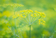 Dill (Fennel) flower Royalty Free Stock Photos