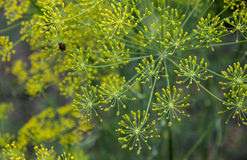 Dill (Fennel) flower Royalty Free Stock Photo