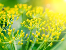 Dill (Fennel) flower with sunlight Royalty Free Stock Photo