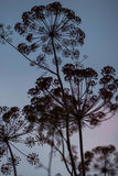 Dill, fennel. The seeds of dill at sunset in the villages Stock Photo