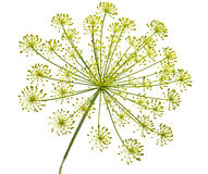Dill flower. Bloom from the dill plant isolated Royalty Free Stock Images