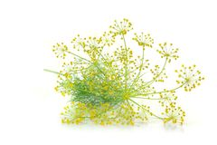 Dill with flower Stock Image
