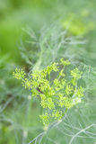 Dill flower Stock Photography
