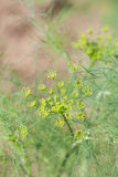 Dill flower. Close-up of a dill flower with seeds royalty free stock image