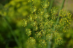 Dill flower. Detail in garden Royalty Free Stock Image