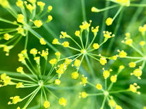 Dill flower. S close-up in rain drops in the garden Stock Photos