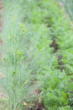 Dill flower. Dill growing in rows in the garden bed Royalty Free Stock Photography