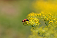 Dill flower with insect Royalty Free Stock Photography