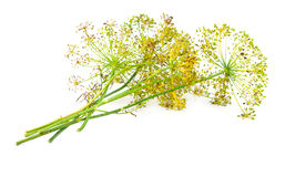 Dill flower Royalty Free Stock Photo