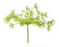Dill flower Royalty Free Stock Photography
