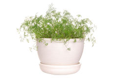 Dill Stock Images