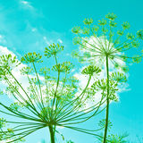 Dill flower umbels Stock Images
