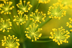 Dill flower. Yellow dill flowers close up Royalty Free Stock Image