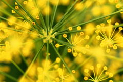 Dill flower. Yellow dill flowers close up Stock Image