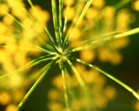 Dill flower Royalty Free Stock Photos