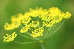 Dill flower Stock Photos