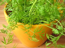 Dill in flowerpot Royalty Free Stock Image