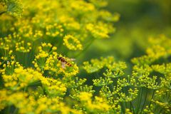 Dill flowers. Insects on flowers of dill (Anethum graveolens Royalty Free Stock Photography
