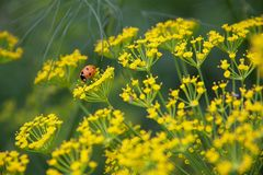 Dill flowers. Insects on flowers of dill (Anethum graveolens Stock Images