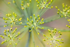 Dill flowers. A closeup of the flower of a mature dill weed or plant.  Species:  Anethum graveolens Royalty Free Stock Photos