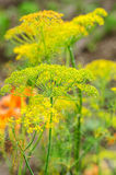 Dill flowers. Dill (Anethum graveolens) umbels in blossom stock photos