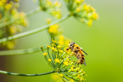 Dill flowers and bee Royalty Free Stock Photography